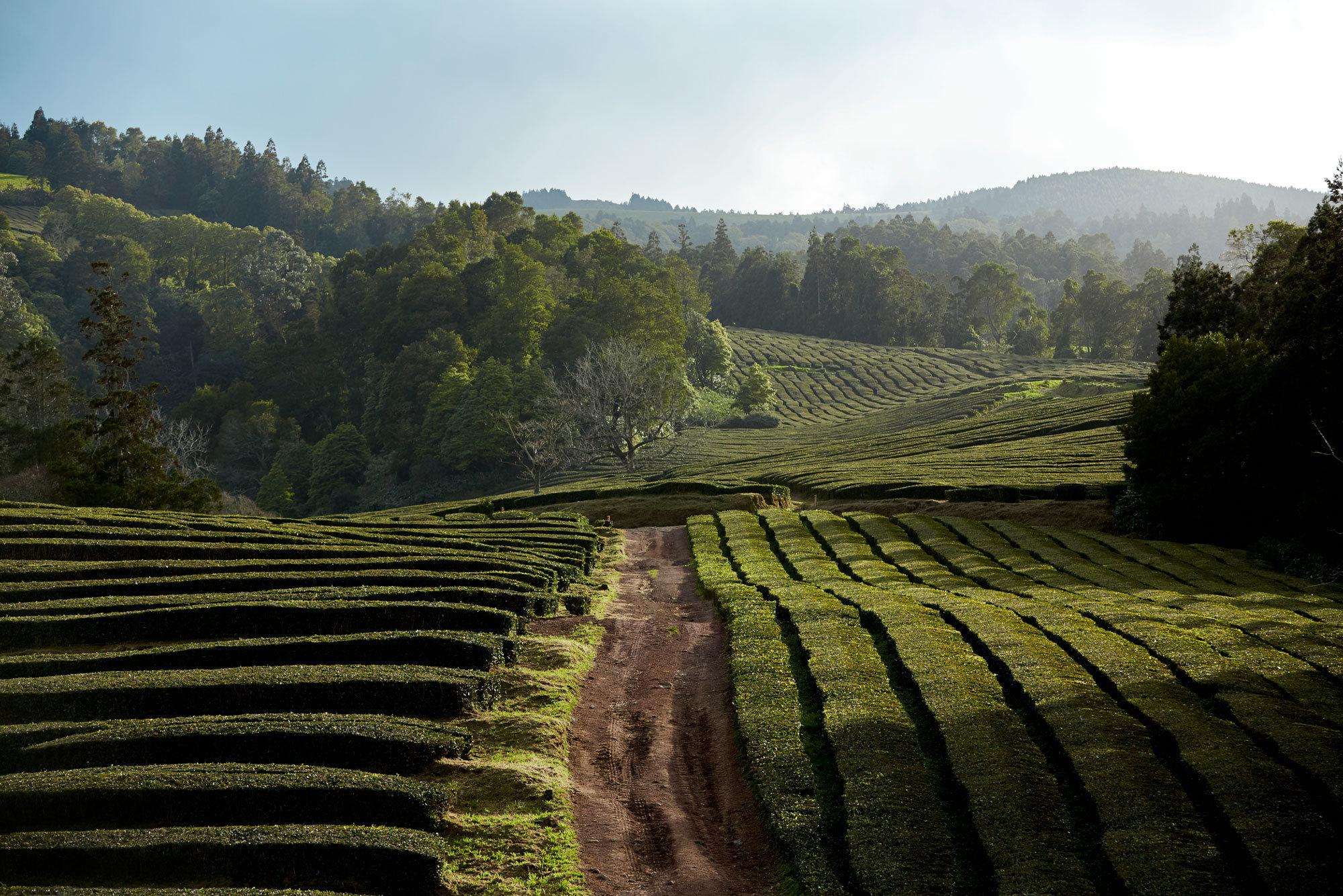Gorreana Tea2